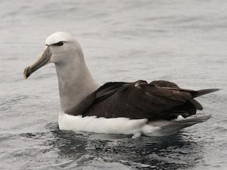 - Salvin's Albatross
