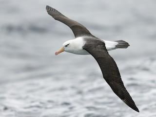 - Black-browed Albatross (Campbell)