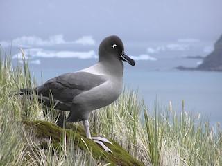 - Light-mantled Albatross