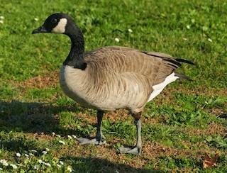 Canada Goose, ML187172421