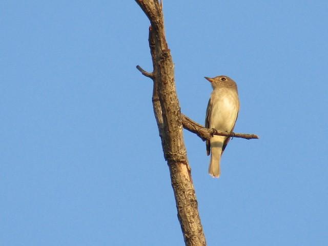 ©Vidhya Swaminathan - Asian Brown Flycatcher