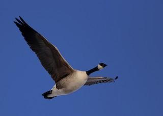 Cackling Goose, ML187294951