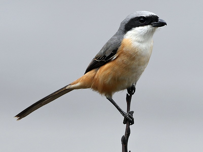 Gray-backed Shrike - Charley Hesse https://www.schoolofbirding.com/