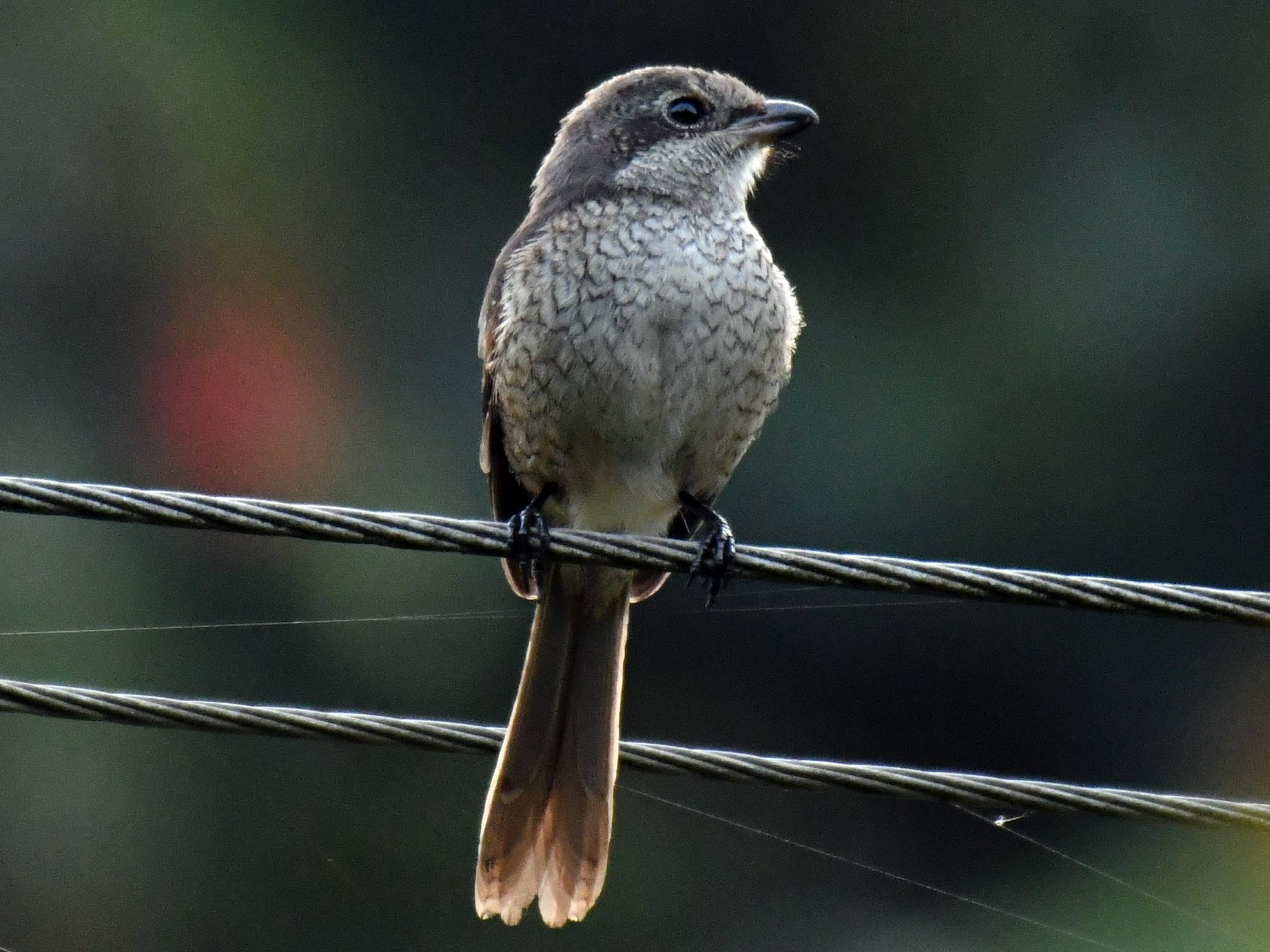 Gray-backed Shrike - Ian Hearn