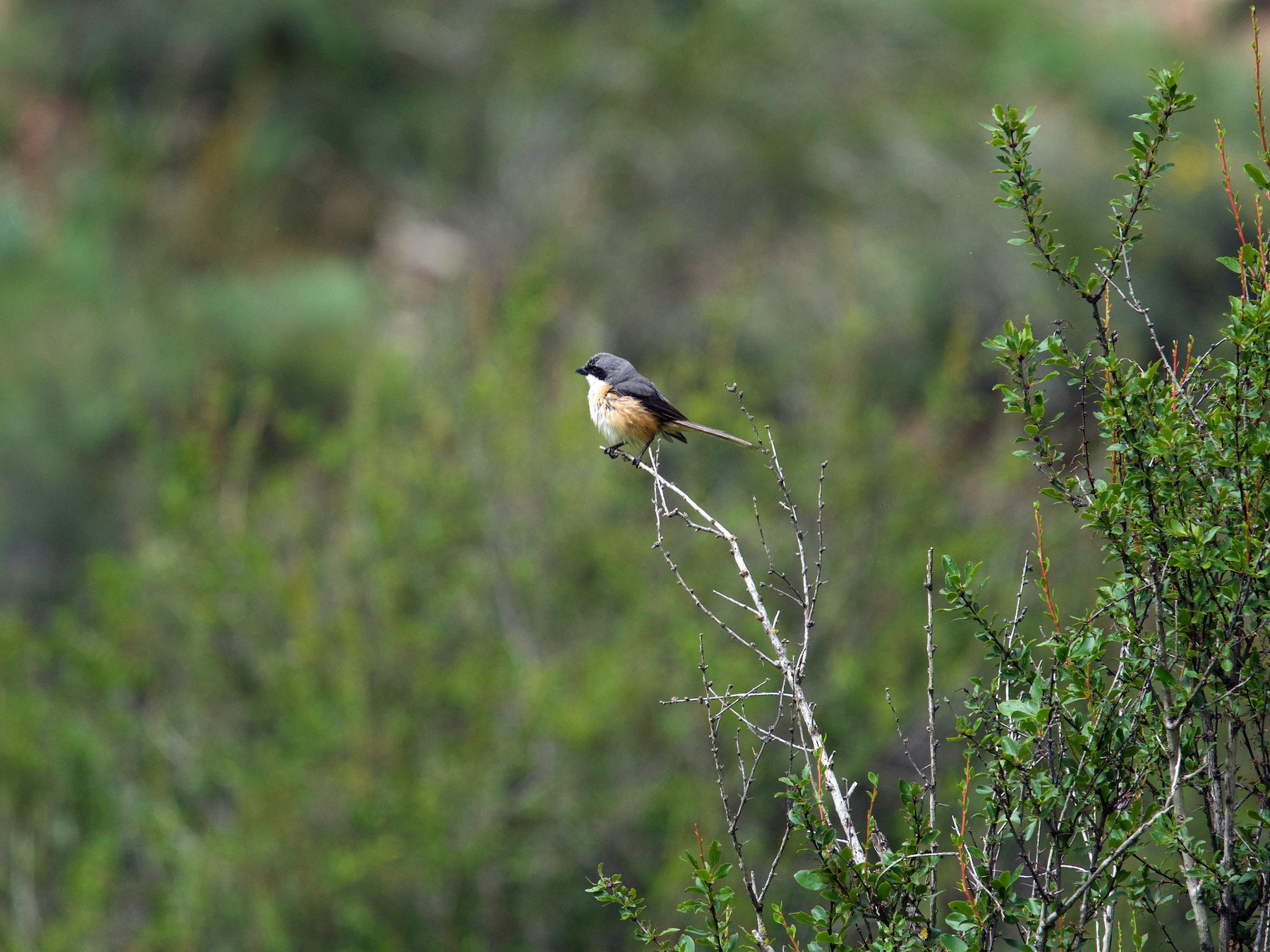 Gray-backed Shrike - Qin Huang