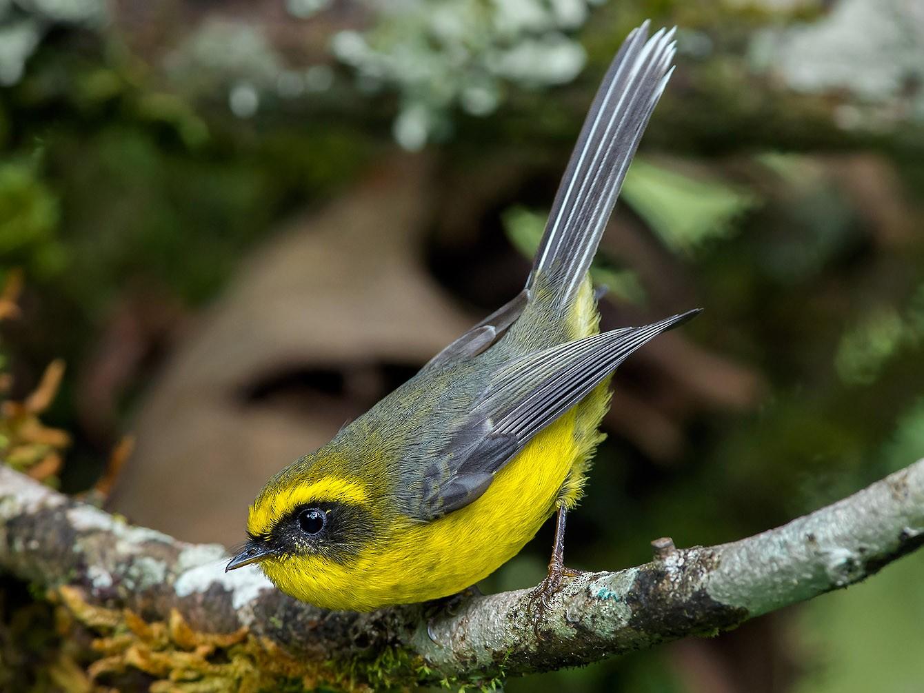 Yellow-bellied Fairy-Fantail - Natthaphat Chotjuckdikul