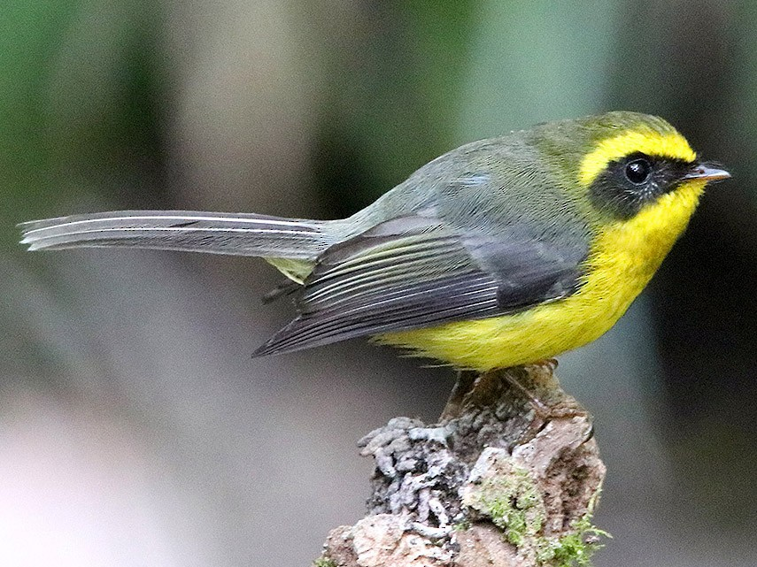 Yellow-bellied Fairy-Fantail - Tim Avery