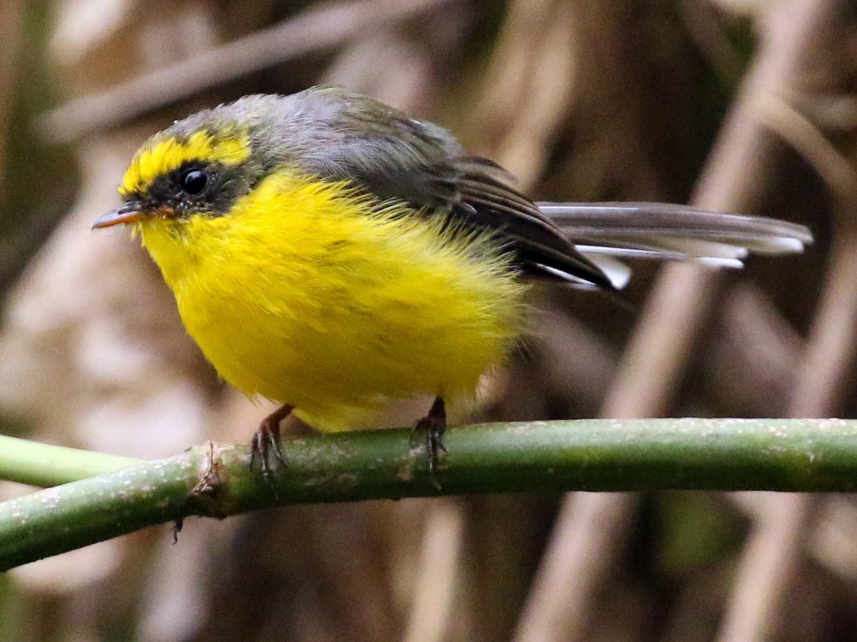 Yellow-bellied Fairy-Fantail - Tommy Pedersen