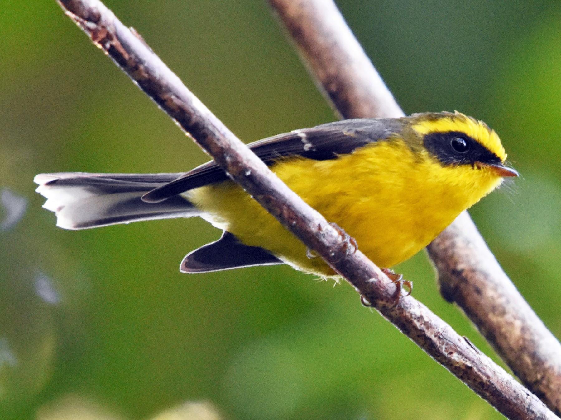 Yellow-bellied Fairy-Fantail - Steve Bale