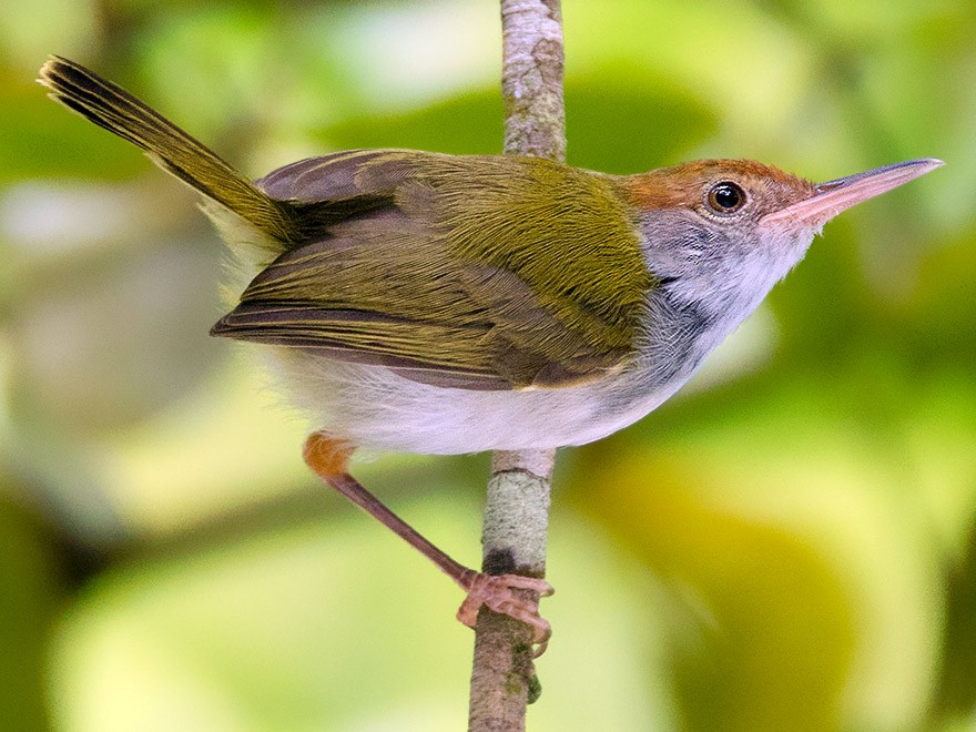 Dark-necked Tailorbird - Ayuwat Jearwattanakanok