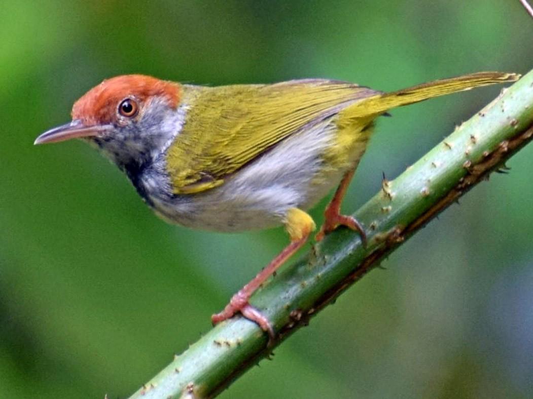 Dark-necked Tailorbird - Biswanath Mondal