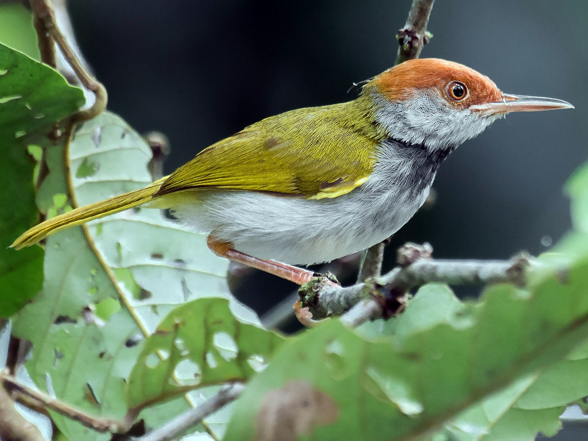 Dark-necked Tailorbird - Natthaphat Chotjuckdikul