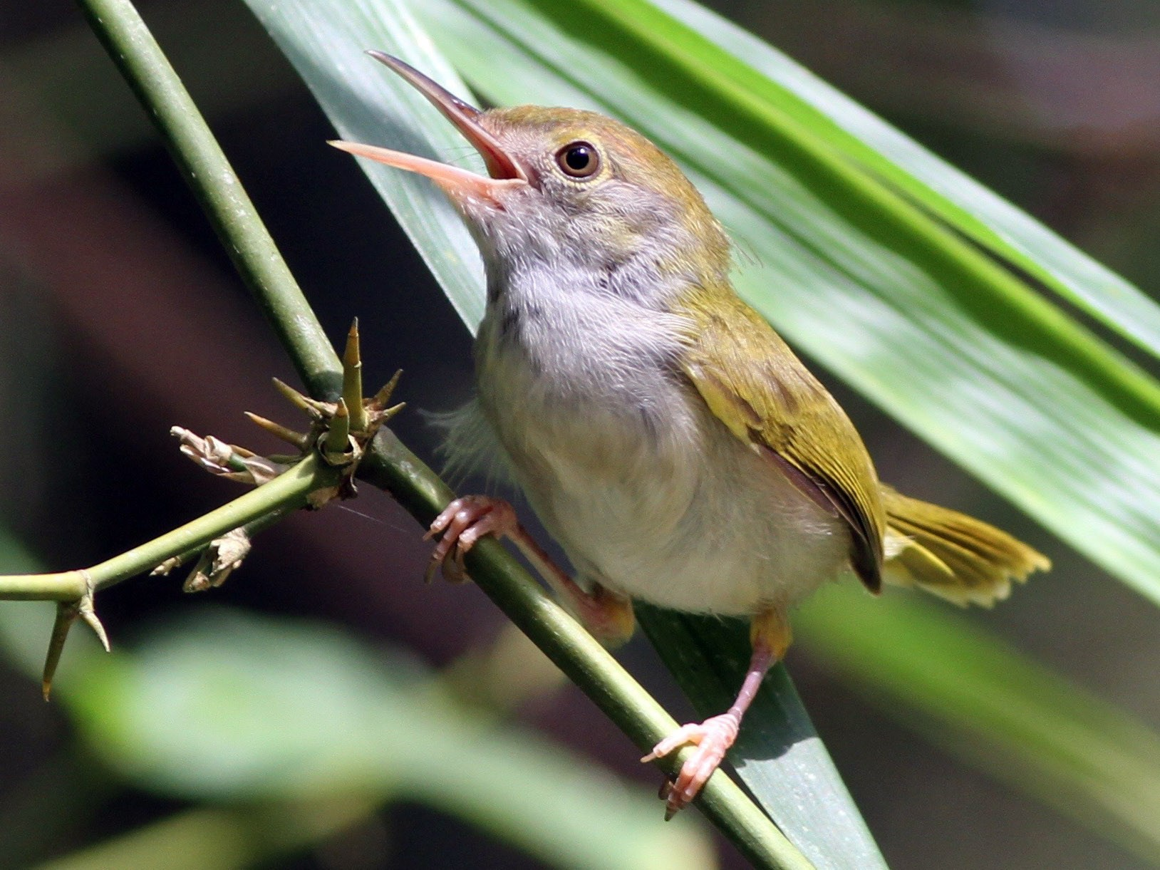 Dark-necked Tailorbird - Chris Wiley