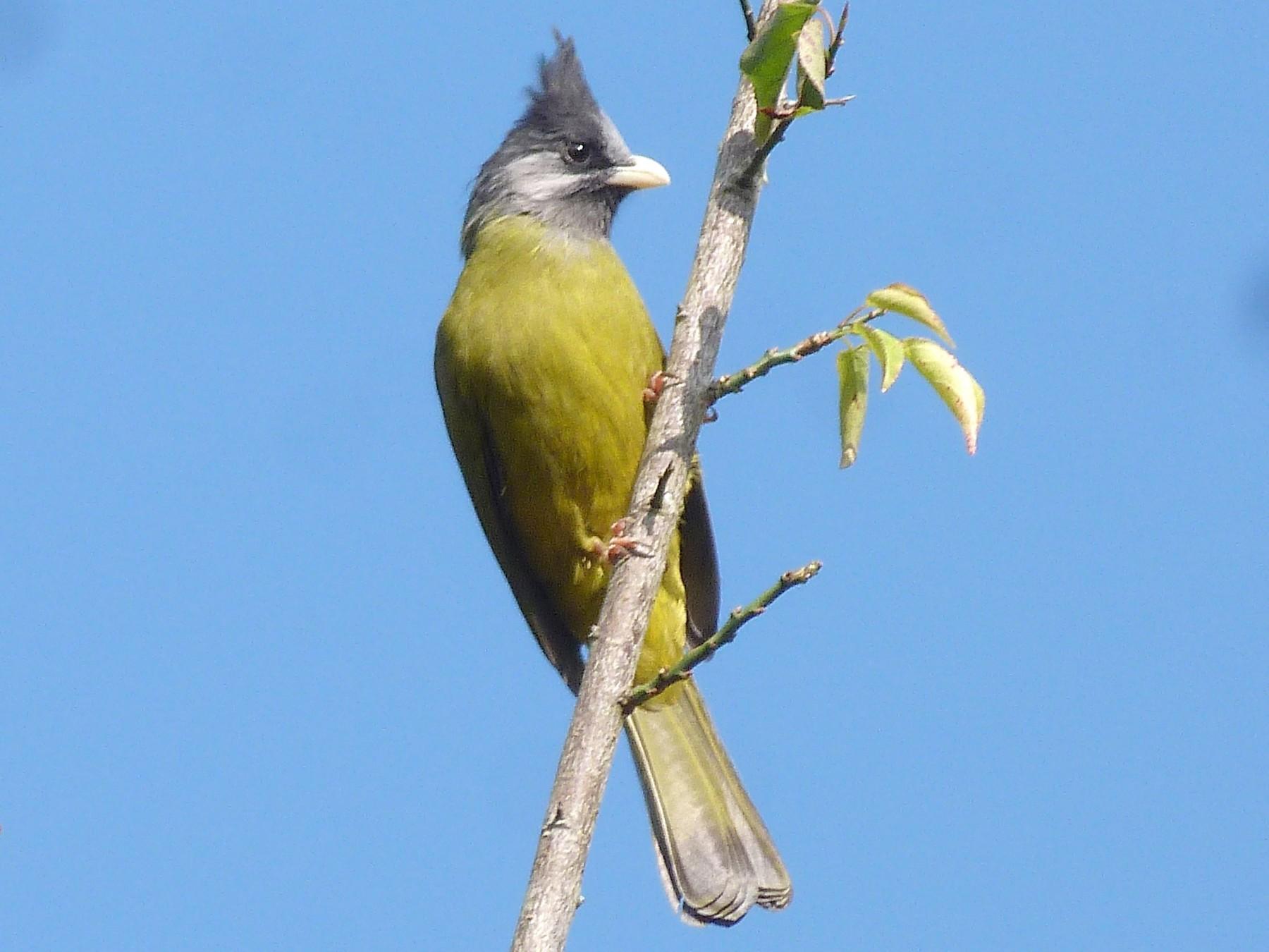 Crested Finchbill - Doug Kibbe