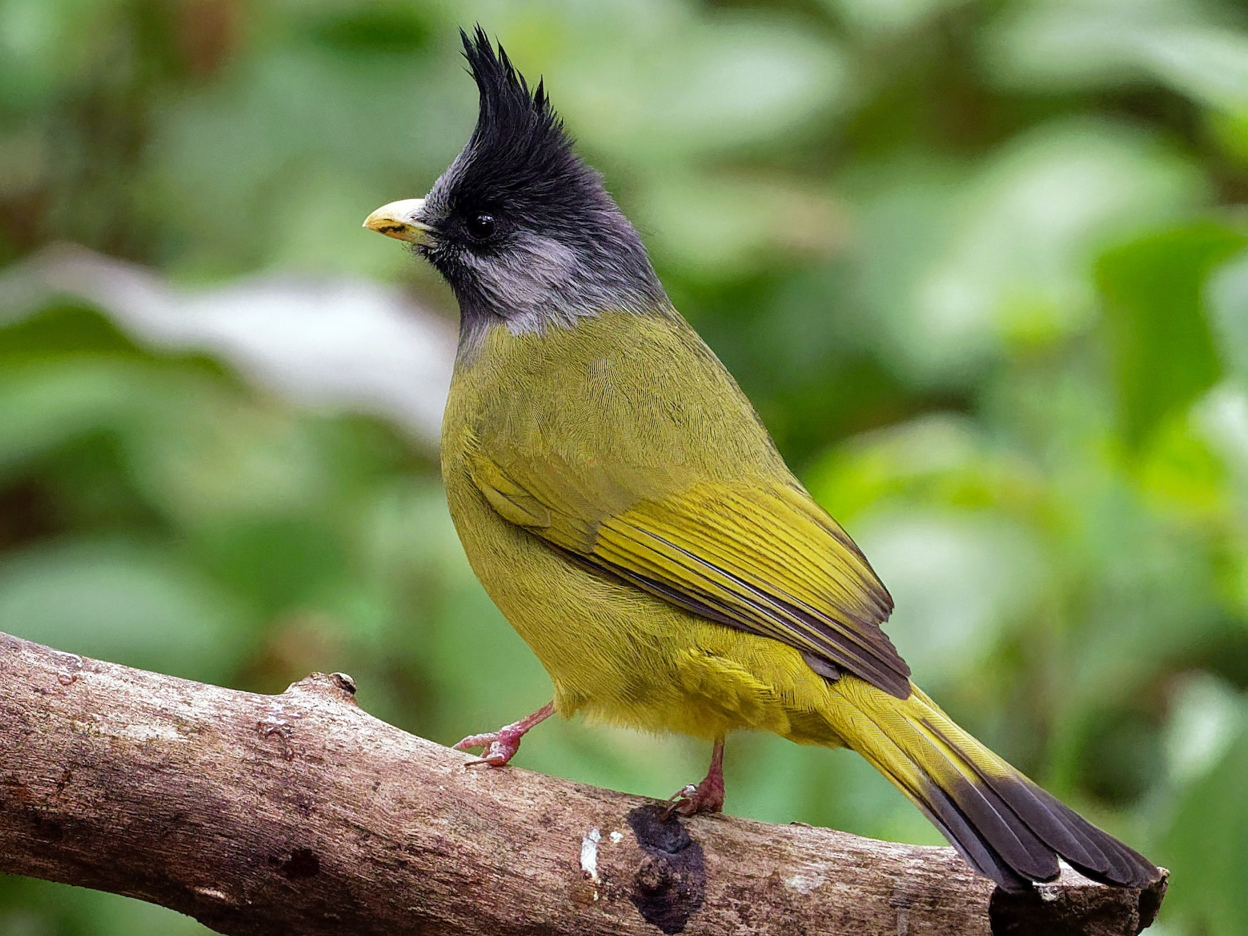 Crested Finchbill - Vincent Wang