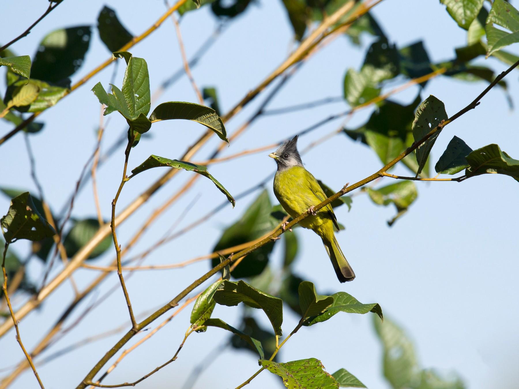 Crested Finchbill - Craig Brelsford