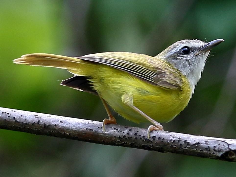 Yellow-bellied Warbler - Gaurang Bagda