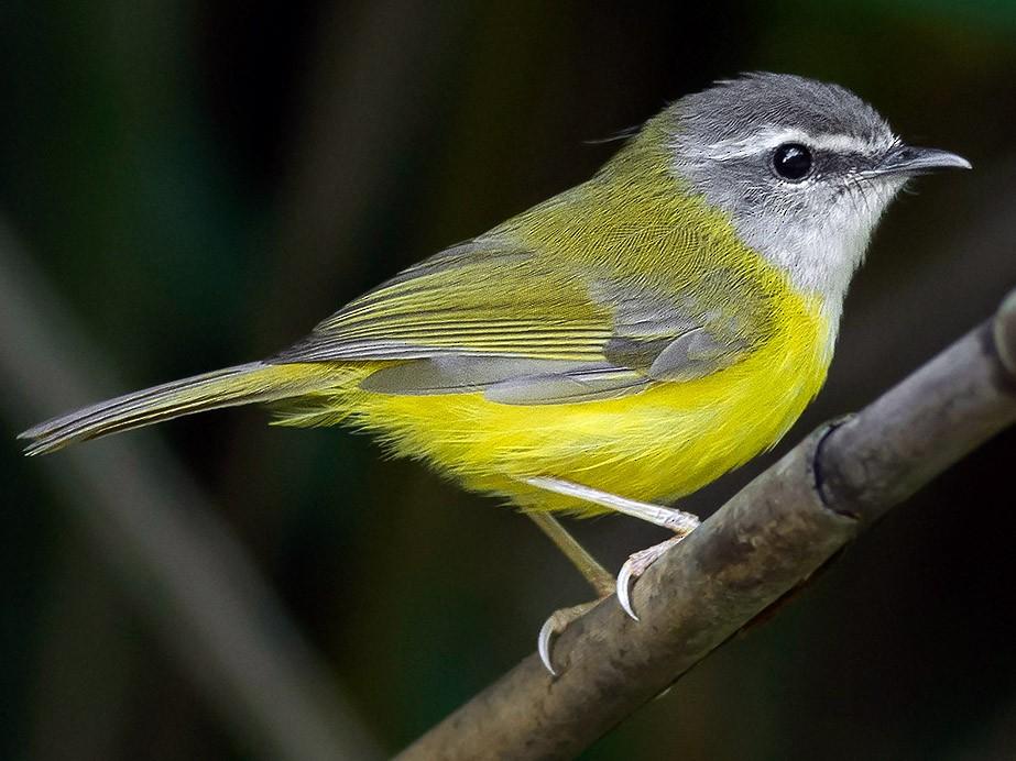 Yellow-bellied Warbler - Natthaphat Chotjuckdikul