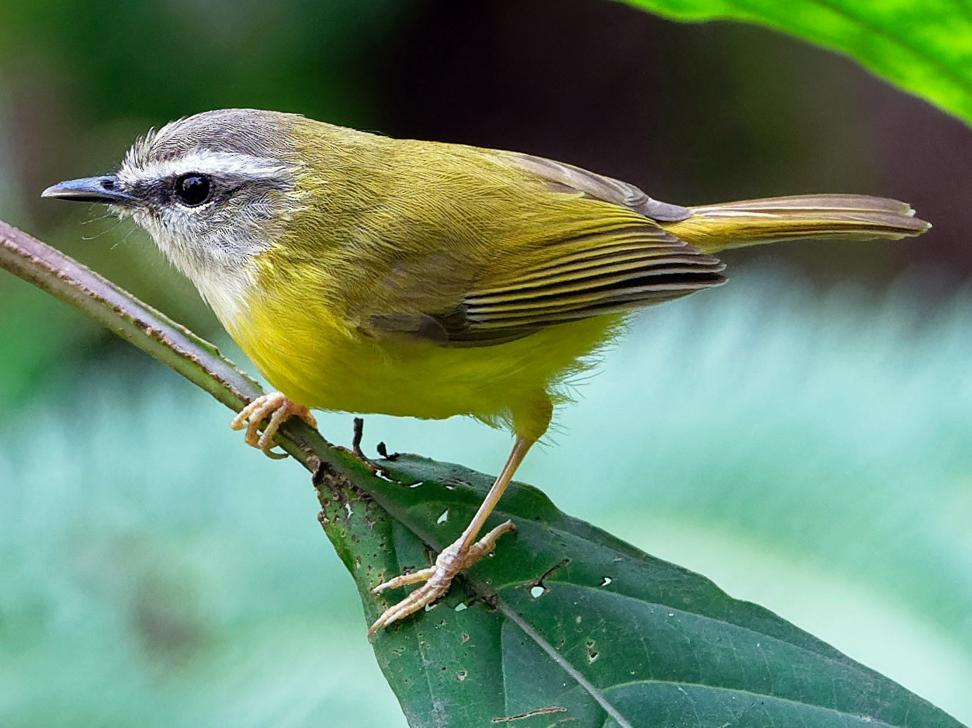 Yellow-bellied Warbler - Vincent Wang