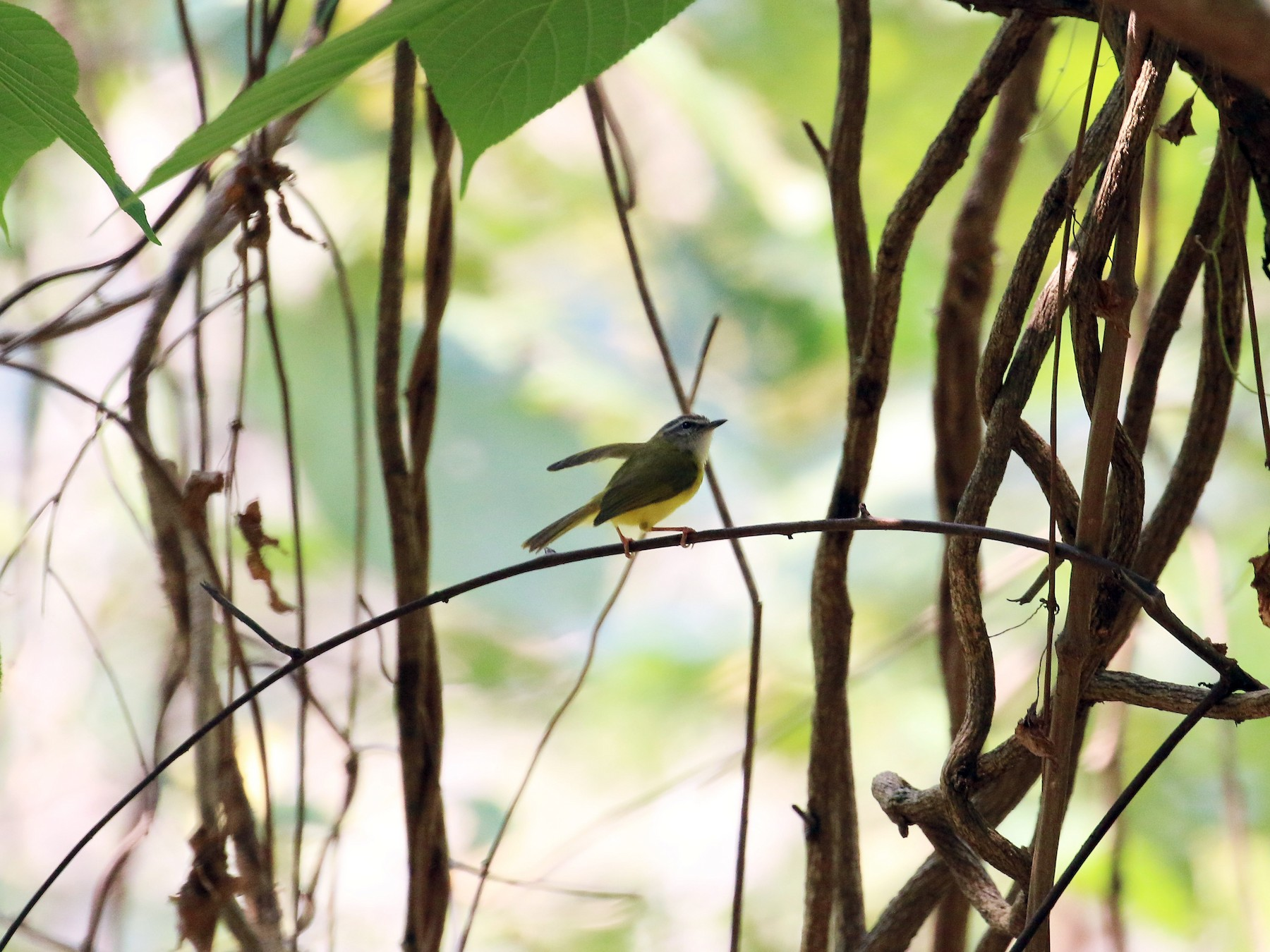 Yellow-bellied Warbler - Ruili/Yingjiang Trip  (Bai Haotian, Xiao Tu, Wei Bo, Alex Nickley)