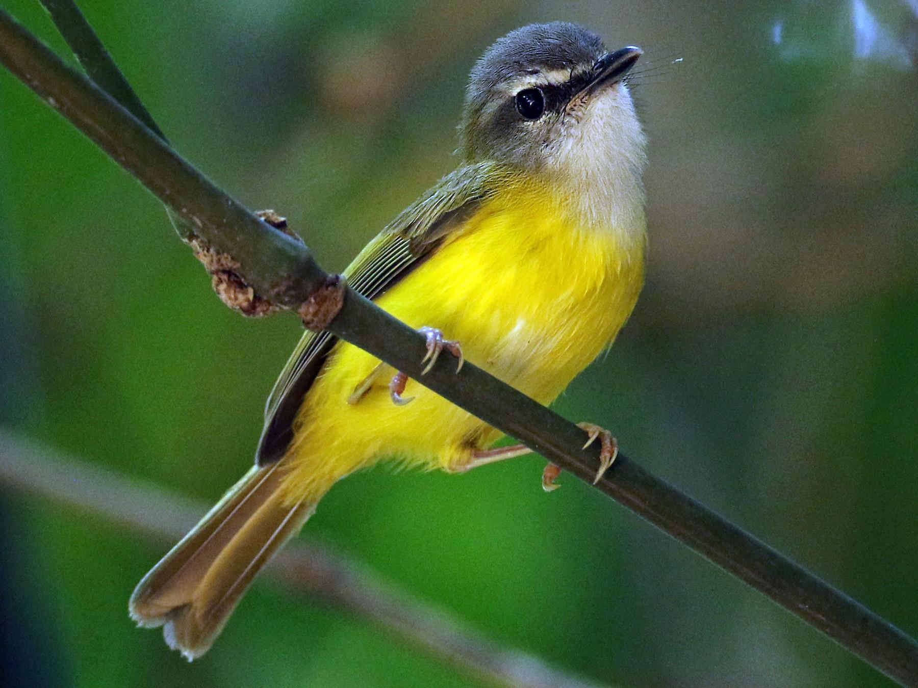 Yellow-bellied Warbler - Luke Seitz
