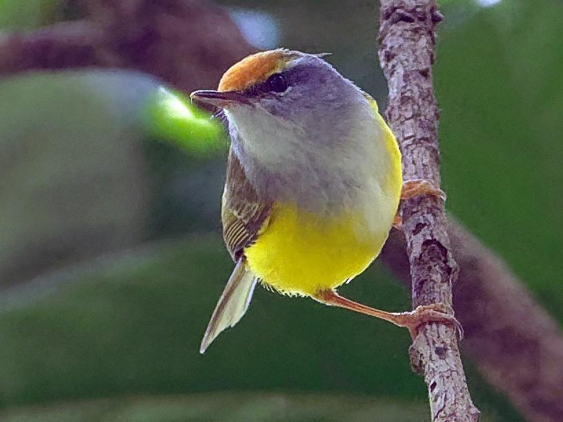Mountain Tailorbird - Vincent Wang