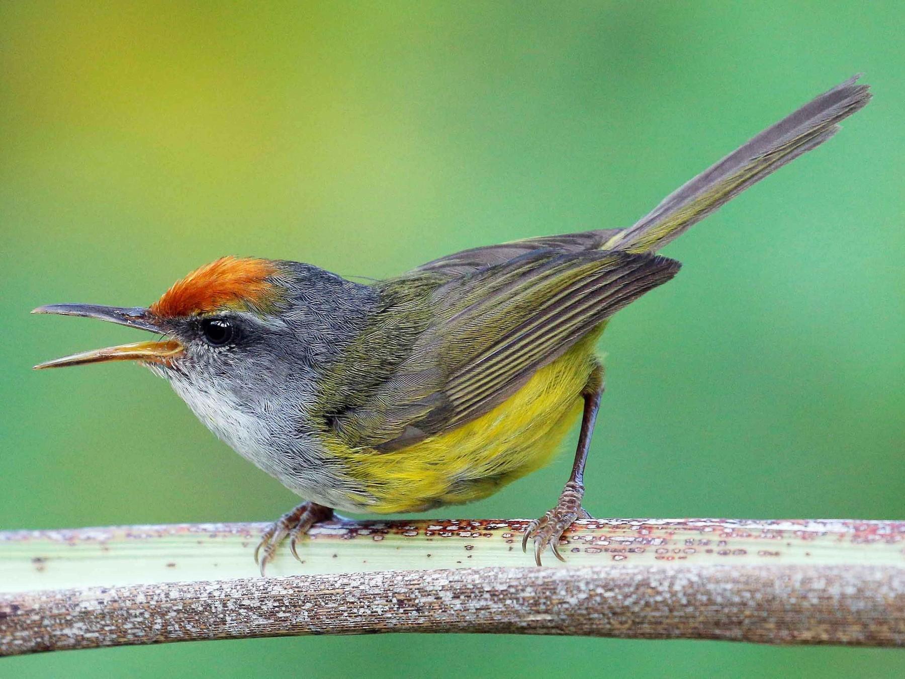 Mountain Tailorbird - Neoh Hor Kee