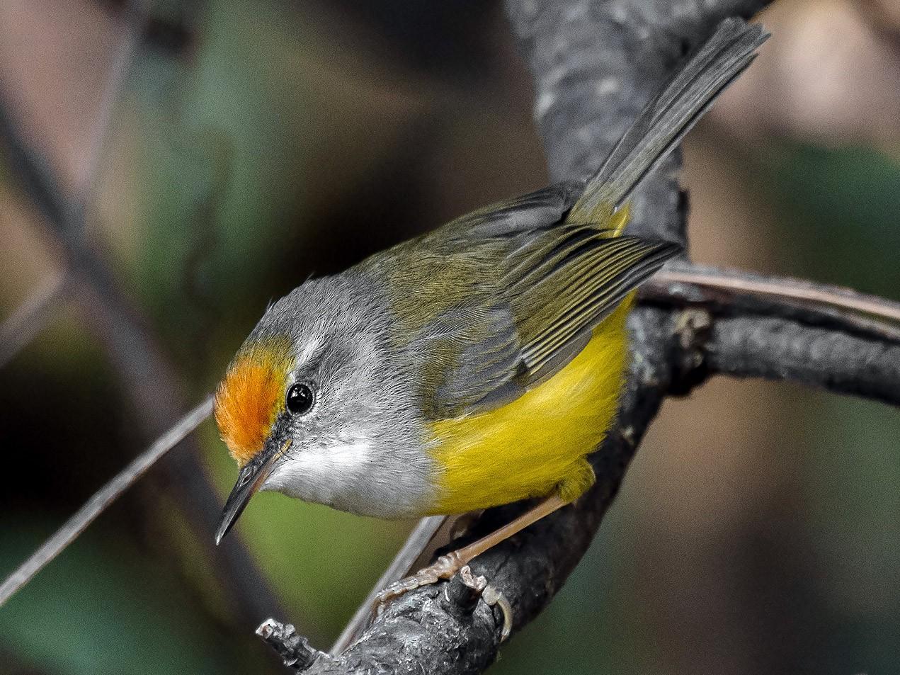 Mountain Tailorbird - Natthaphat Chotjuckdikul