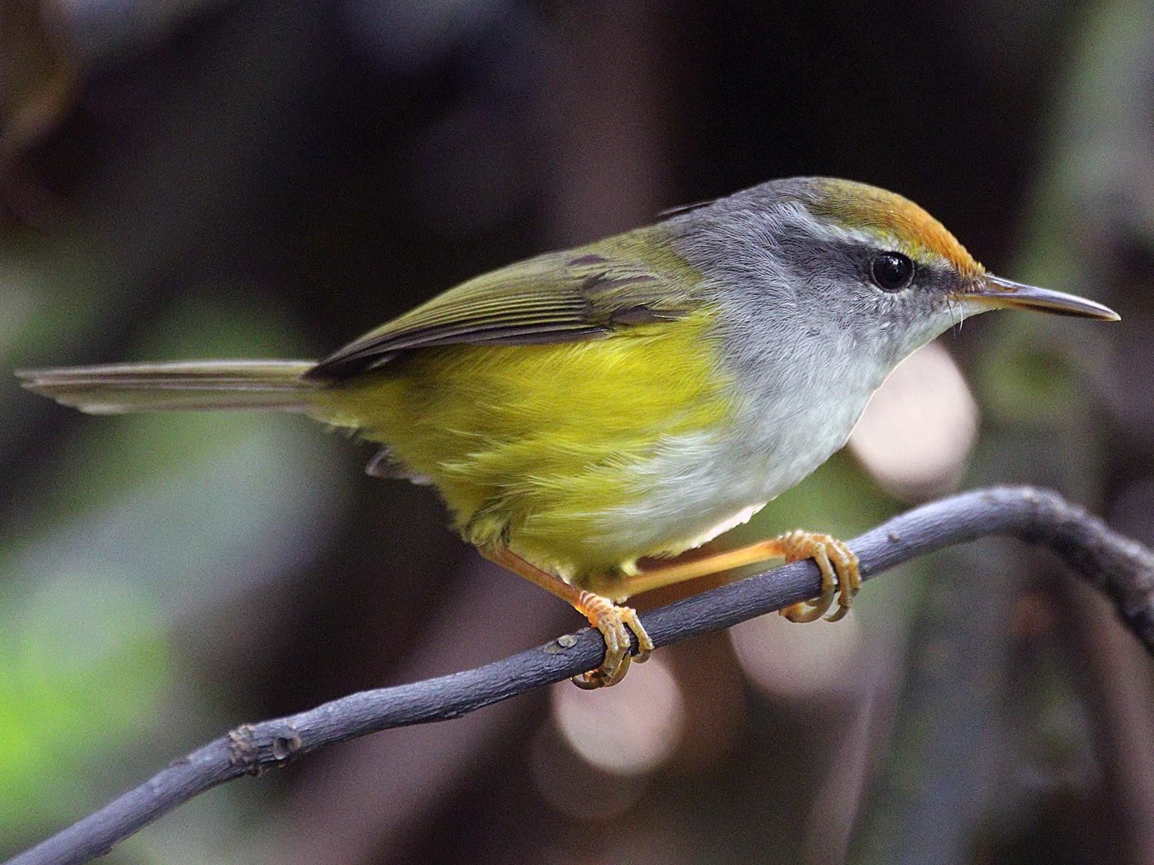 Mountain Tailorbird - Roman Lo