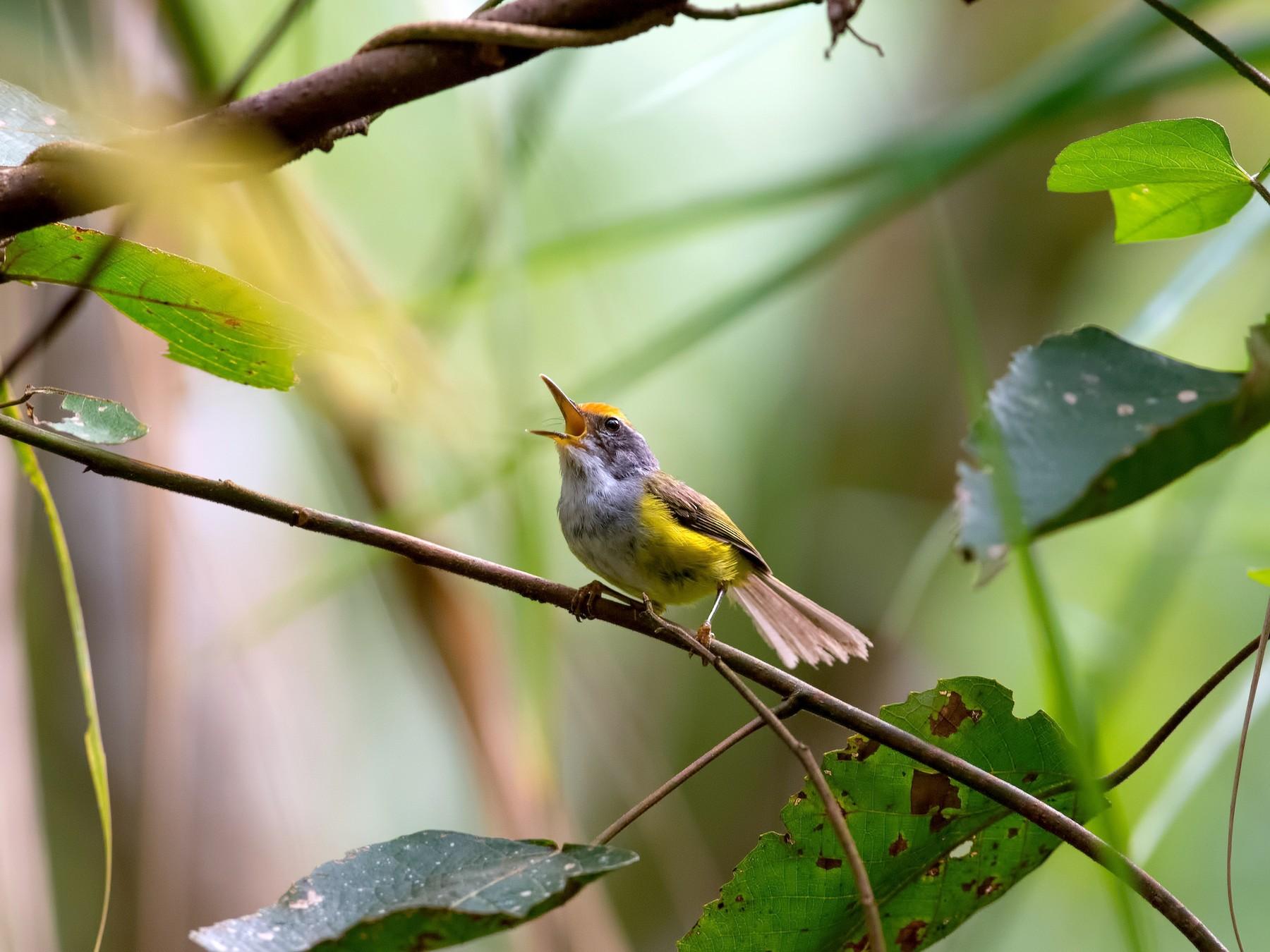 Mountain Tailorbird - Shailesh Pinto