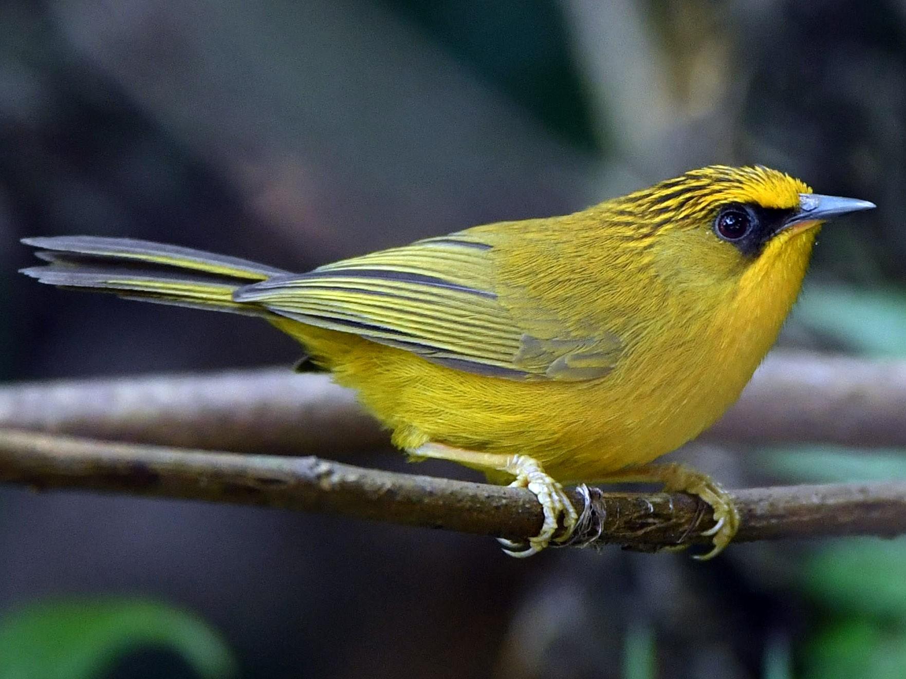 Golden Babbler - Vinoba Anand
