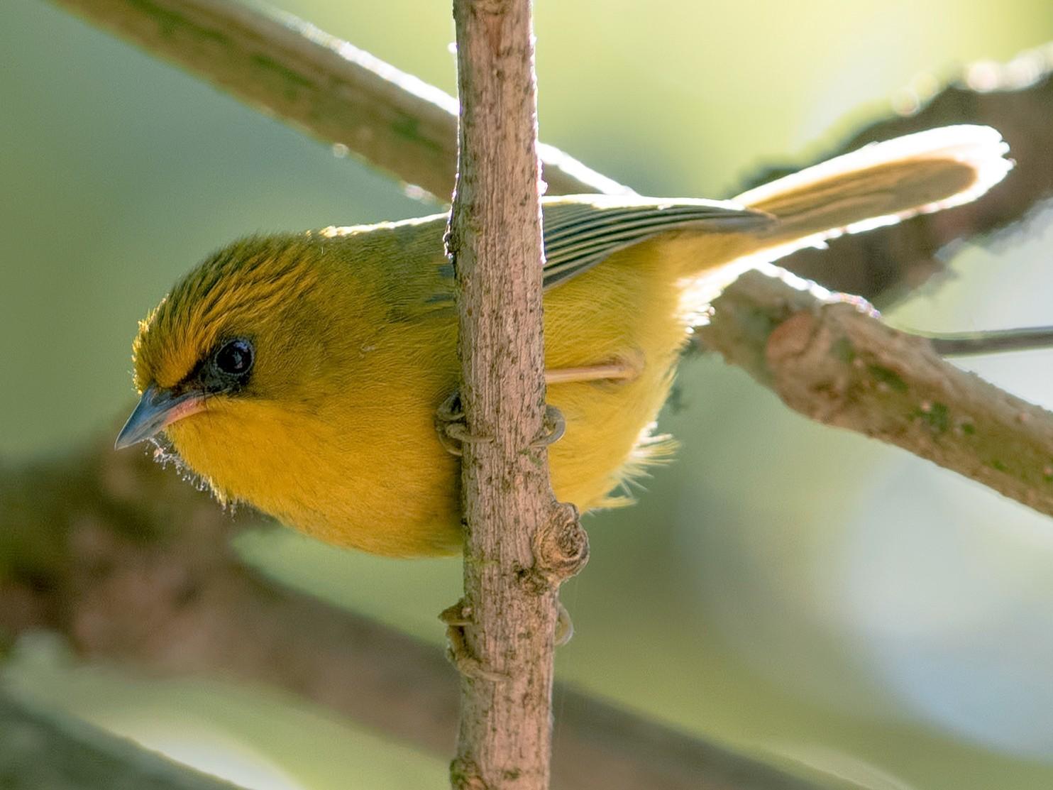 Golden Babbler - Shailesh Pinto
