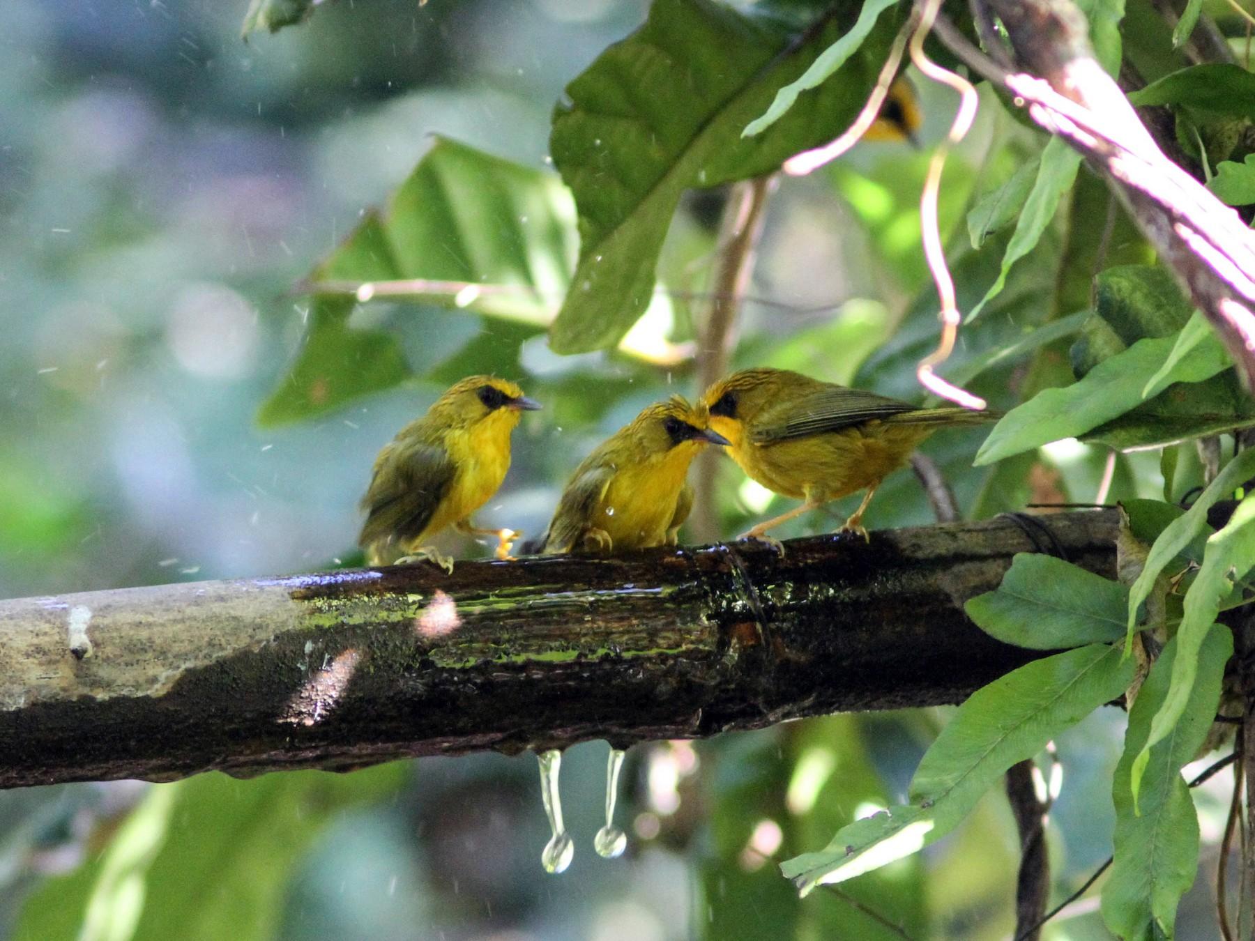 Golden Babbler - Paul Hyde