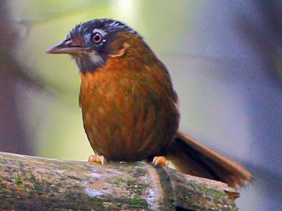 Gray-throated Babbler - Arnab Pal