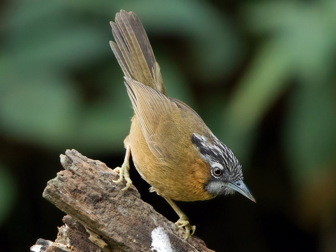 Gray-throated Babbler - Ayuwat Jearwattanakanok
