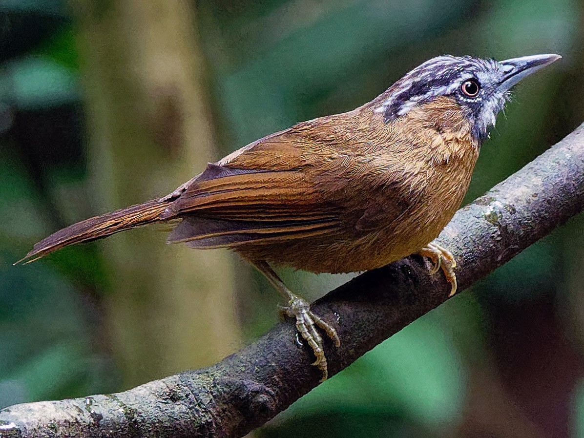 Gray-throated Babbler - Vincent Wang