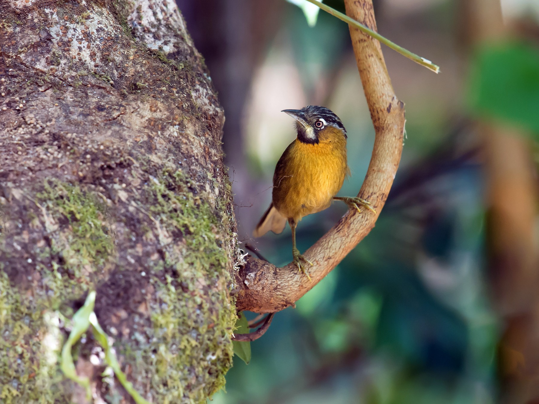 Gray-throated Babbler - Craig Brelsford