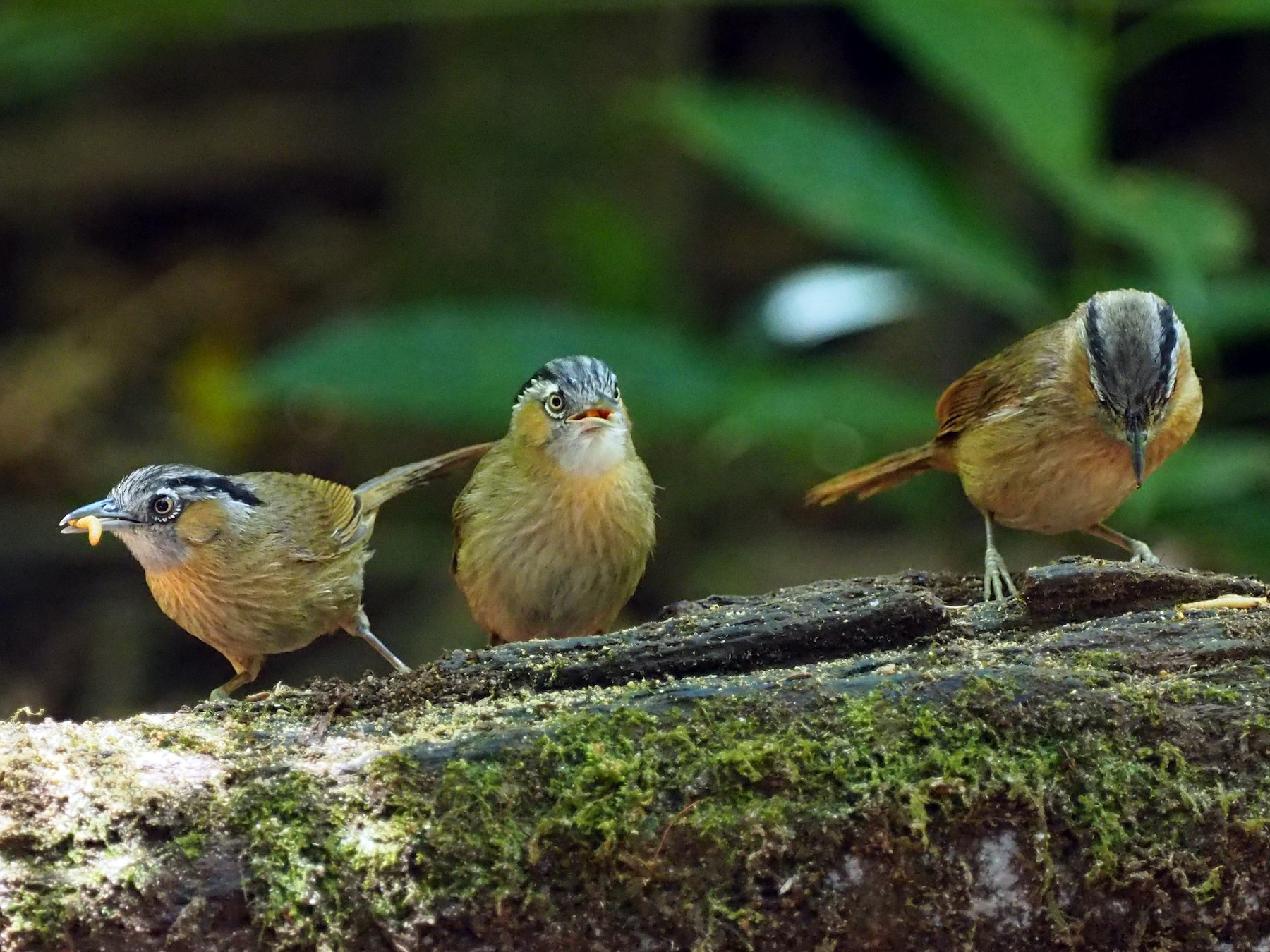 Gray-throated Babbler - Scott (瑞興) LIN(林)