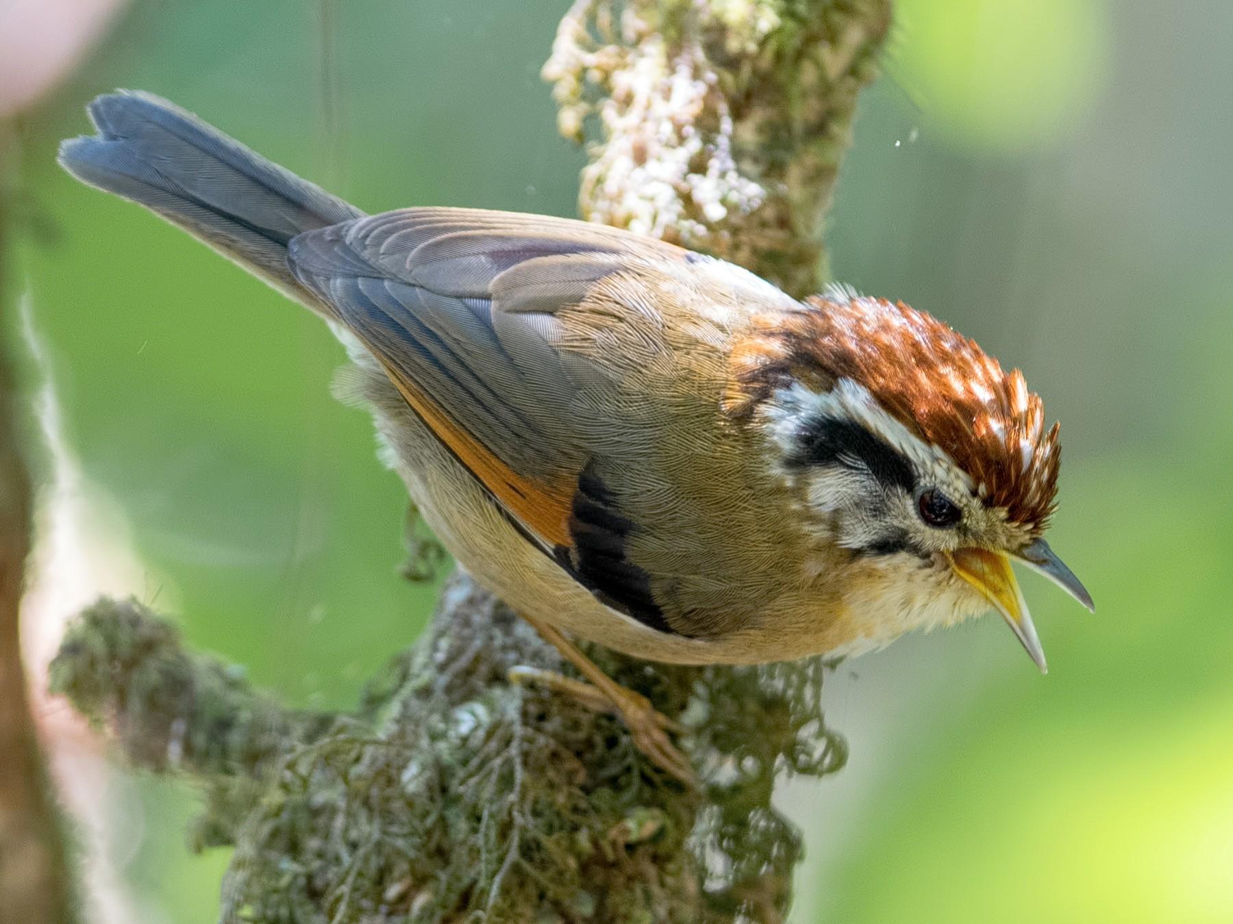 Rufous-winged Fulvetta - Shailesh Pinto