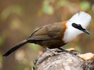 - White-crested Laughingthrush