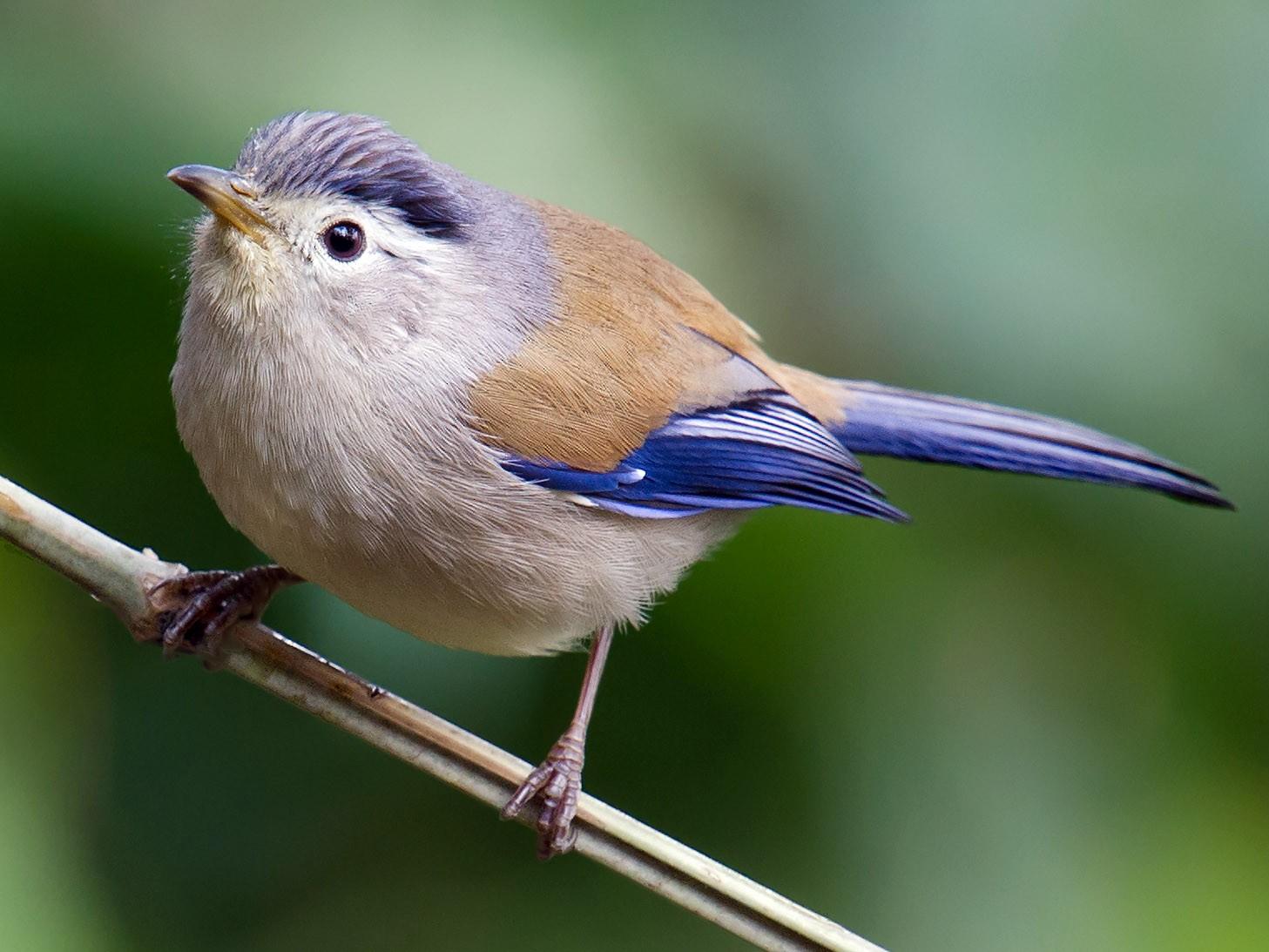 Blue-winged Minla - Craig Brelsford