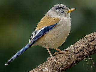 - Blue-winged Minla