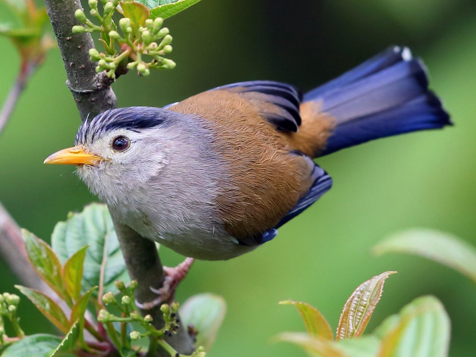 Blue-winged Minla - Jon Irvine