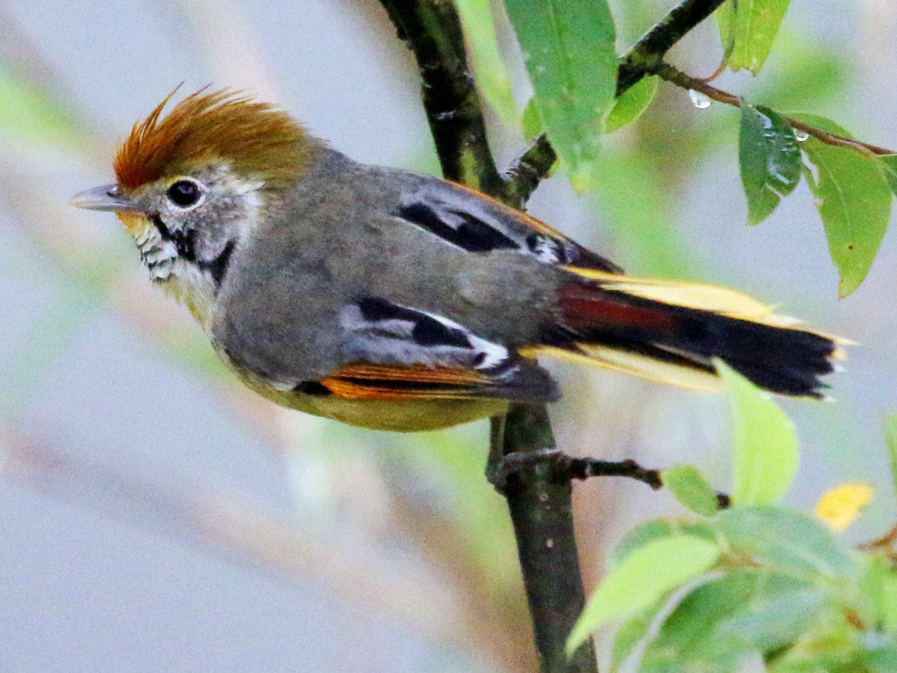 Chestnut-tailed Minla - anshuman sarkar