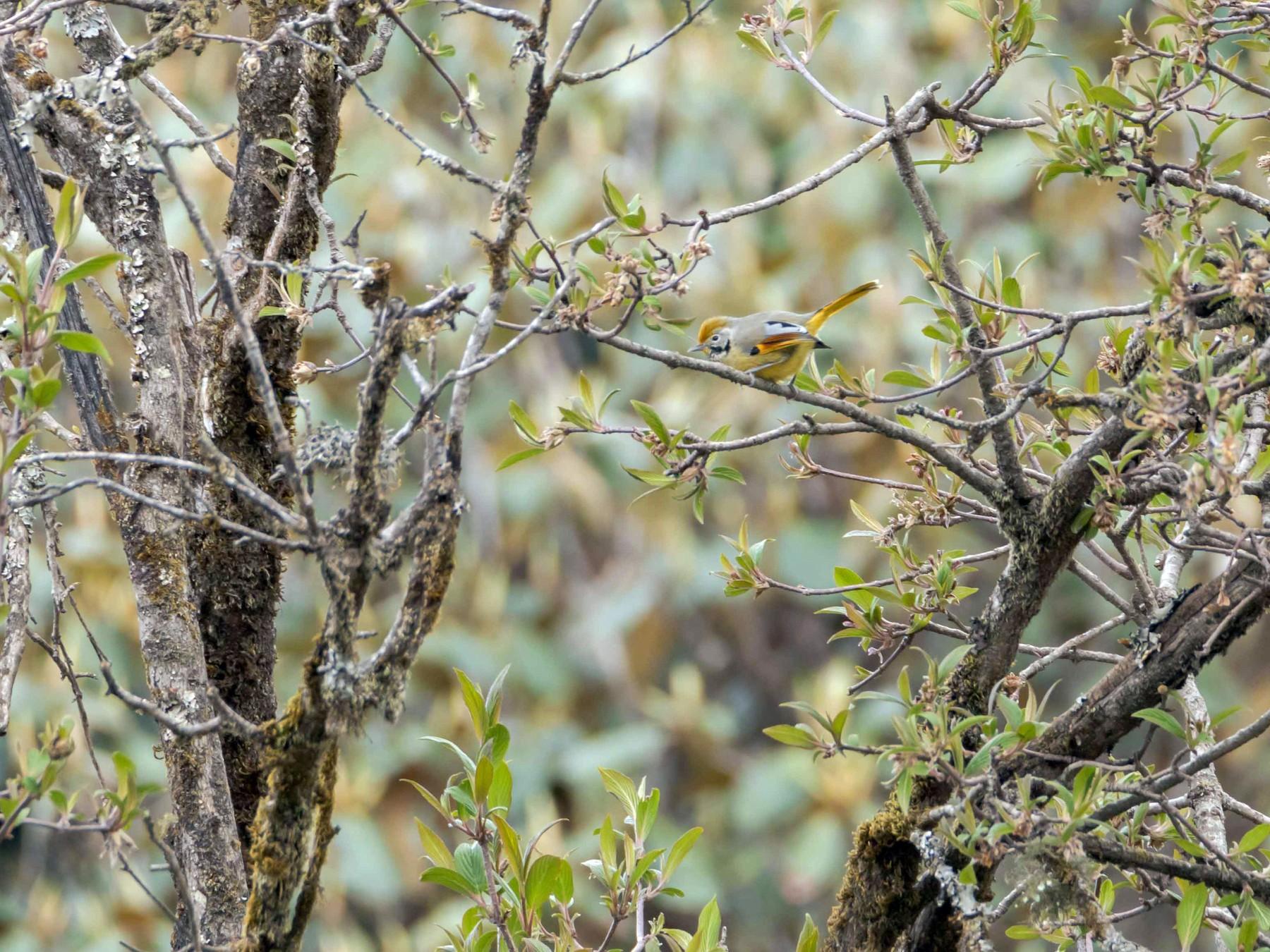Chestnut-tailed Minla - Adithya Bhat