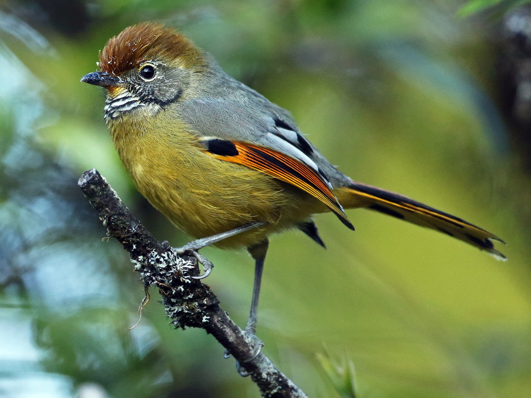 Chestnut-tailed Minla - Luke Seitz
