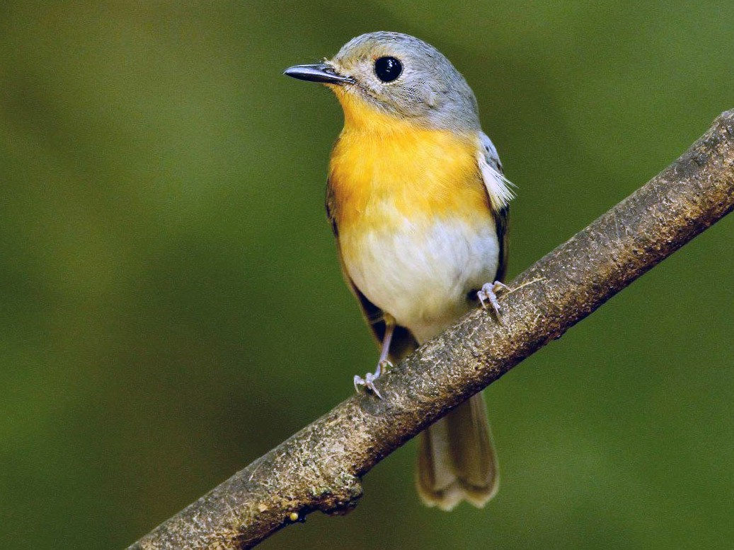 Hill Blue Flycatcher - Ting-Wei (廷維) HUNG (洪)