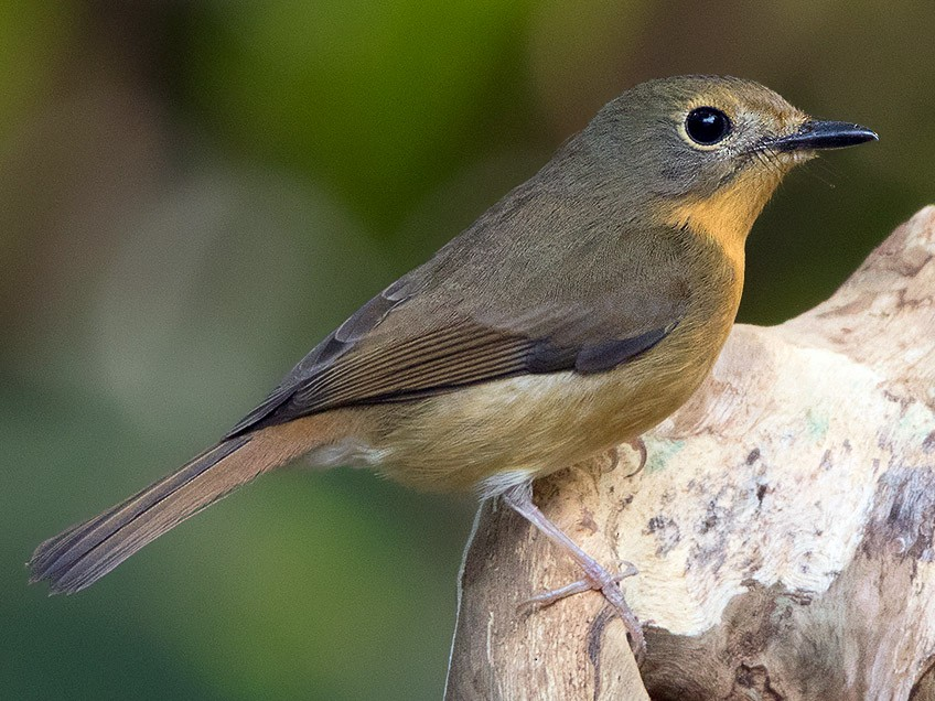 Hill Blue Flycatcher - Ayuwat Jearwattanakanok