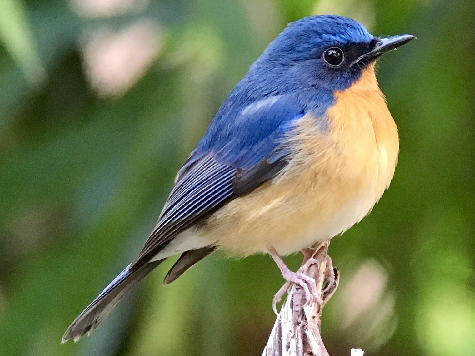 Hill Blue Flycatcher - Vincent Wang