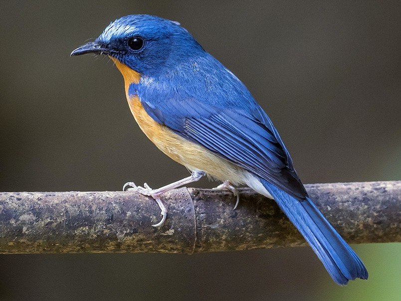 Hill Blue Flycatcher - Matthew Kwan
